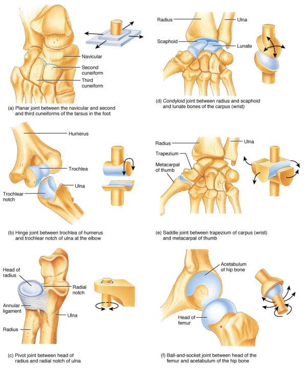 Изображение - Плечевой сустав простой или сложный F07.04.L.150-600x719