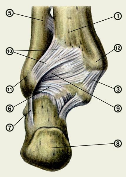 3 — дельтовидная связка; 10 — межберцовая задняя связка;