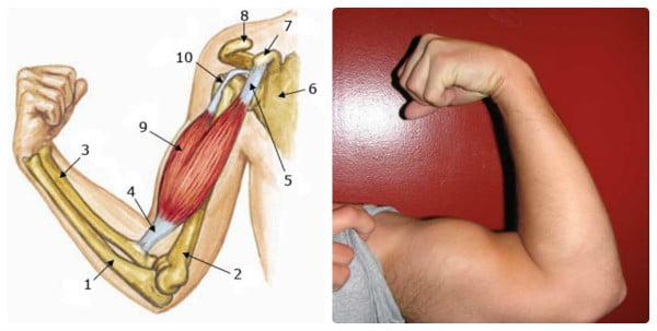Просто и доступно про основные группы мышц