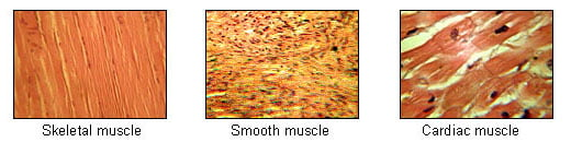 Illu_muscle_tissues