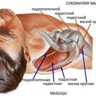 Скелетная мускулатура — особенности работы